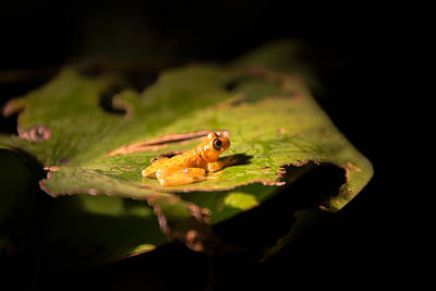 Small Yellow Frog Poster