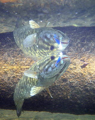 Smallmouth Reflections Poster by Ron Kruger
