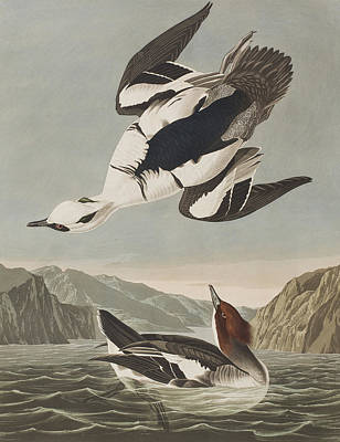 Smew Or White Nun Poster