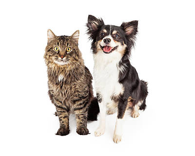 Smiling Chihuahua Mixed Breed Dog And Cat Together Poster
