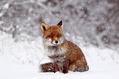 Smiling Fox In A Snow Storm Poster by Roeselien Raimond
