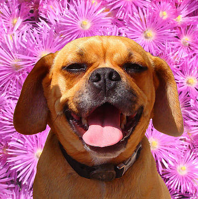 Smiling Pug Poster