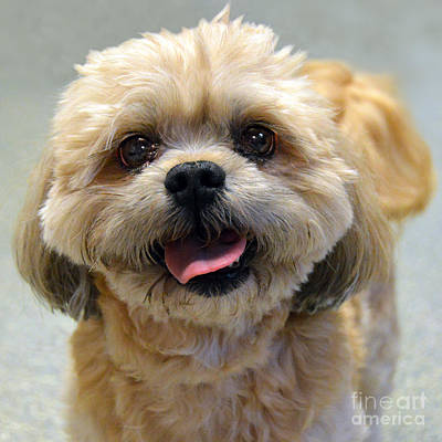 Smiling Shih Tzu Dog Poster by Catherine Sherman