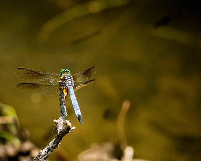 Smoky Dragonfly Perched Poster by Douglas Barnett