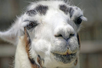 Smug Llama Poster