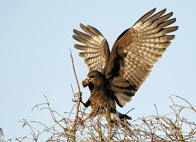 Snail Kite Coming In Poster