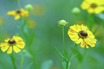 Sneezeweed Poster by Debbie Oppermann
