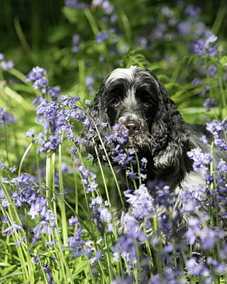 Sniffing Bluebells Poster