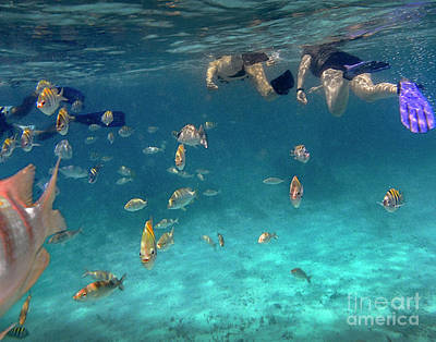 Snorkeling With Sargent Fish Poster