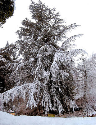 Snow Covered Evergreen Tree  Poster
