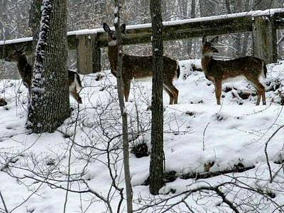 Snow Deer - Rock Creek Park Washington Dc Poster