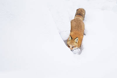 Poster featuring the photograph Snow-diving Fox  by Mircea Costina Photography