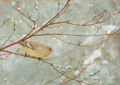Snow Finch Poster by Angie Vogel
