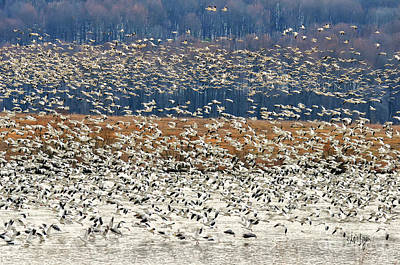 Snow Geese At Willow Point Poster
