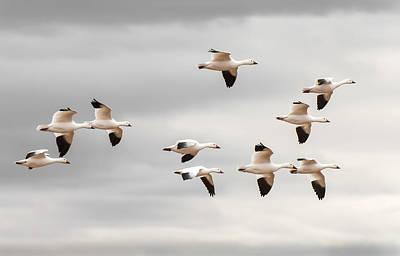 Snow Geese Flight Poster by Britt Runyon