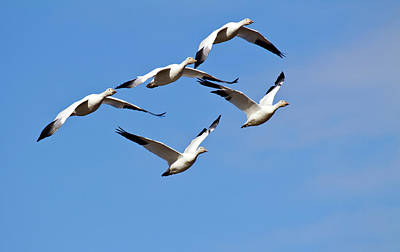 Poster featuring the photograph Snow Geese Flormation by Elvira Butler