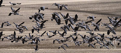Snow Geese In Flight Poster by Bob Christopher