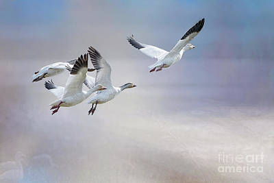 Snow Geese In Flight Poster by Bonnie Barry