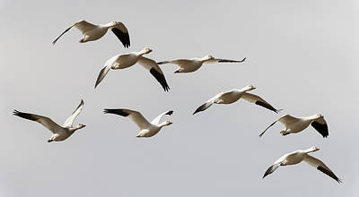 Snow Geese In Flight Poster by Loree Johnson
