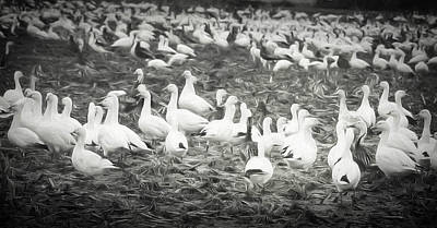 Snow Geese Poster by Lisa Bell