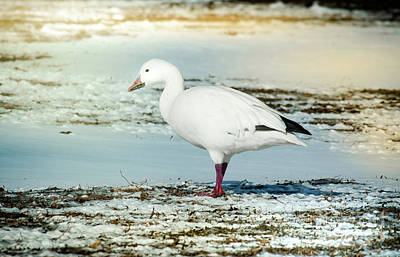 Snow Goose - Frozen Field Poster by Robert Frederick