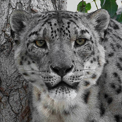 Snow Leopard 5 Posterized Poster by Ernie Echols