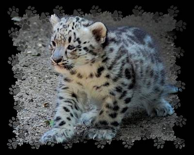 Snow Leopard Cub Paws Border Poster by Terry DeLuco