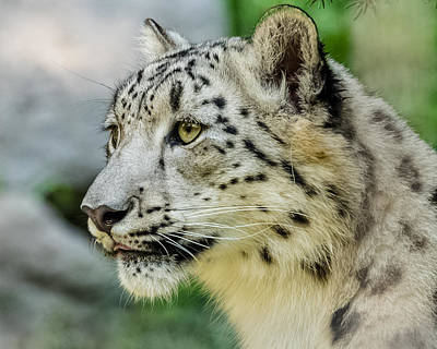 Snow Leopard Portrait Poster by Yeates Photography
