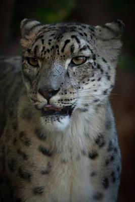 Poster featuring the photograph Snow Leopard by Roger Mullenhour