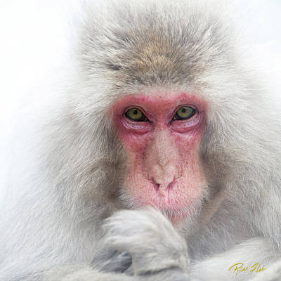 Poster featuring the photograph Snow Monkey Consideration by Rikk Flohr