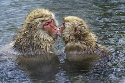 Snow Monkey Kisses Poster
