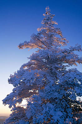 Snow On Pine Tree Poster by Panoramic Images