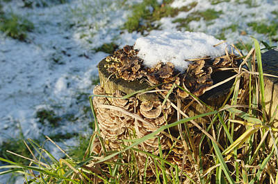 Snow On Stump With Bark Fungus Poster by Adrian Wale