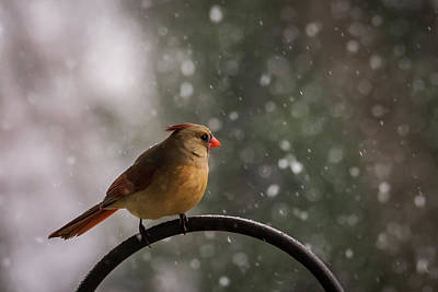 Snow Showers Female Northern Cardinal Poster by Terry DeLuco