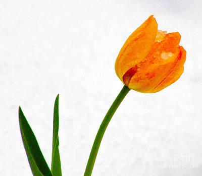 Snow Tulip Poster