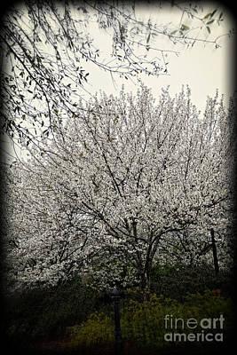 Snow White Flowering Tree Poster by Eva Thomas