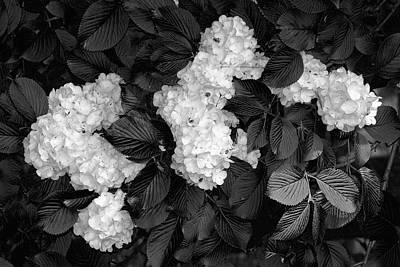Snowball Bush Poster by Tom Mc Nemar