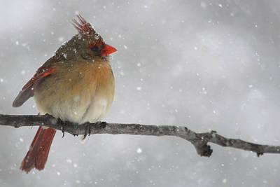 Snowy Cardinal Poster