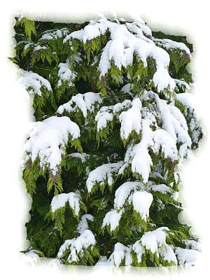 Poster featuring the photograph Snowy Cedar Boughs by Will Borden