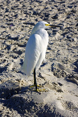 Snowy Egret At Naples, Fl Beach Poster