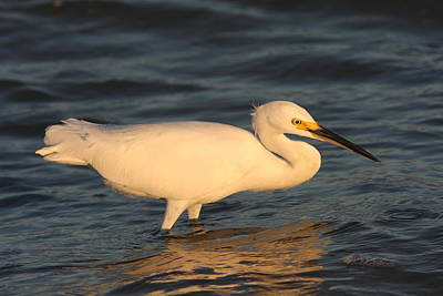 Snowy Egret By Sunset Poster by Christiane Schulze Art And Photography