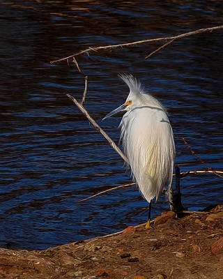 Snowy Egret Digital Art Poster by Ernie Echols