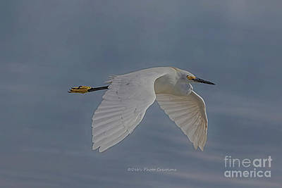 Snowy Egret Fly Poster
