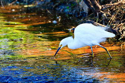 Snowy Egret Hunting 2 Poster
