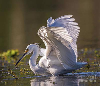 Snowy Egret Hunting - Egretta Thula Poster