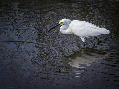 Snowy Egret Hunting Poster