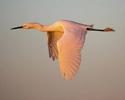 Snowy Egret In Flight At Sunset Poster