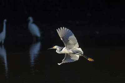 Snowy Egret In Flight In The Morning Light Poster