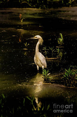 Snowy Egret In Low Light Poster by Robert Frederick