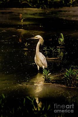 Snowy Egret In Low Light Poster